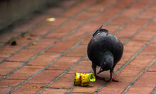 Pigeon Eating Apple