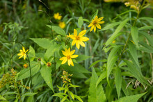 Pale-Leaved Sunflowers Bring A Brigh Yelllow Burst Of Color To The  Lamoille River Valley
