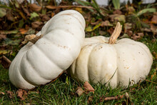 Two Large Flat White Pumpkins In A Grassy Garden