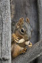 Fox Squirrel With Two Peanuts ...
