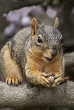 Squirrel Eating Peanut Nut On ...