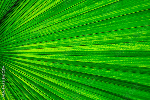Fototapety zielone  palm-leaf-texture-green-nature-background