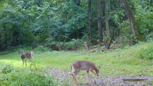 Three Yearling Whitetail Deer Quietly Eating Clover In A Clearing In The Woods In Early Fall In The Midwest