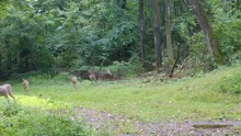 Five Yearling Whitetail Deer Playing In A Clearing In The Woods\ In Early Fall In The Midwest