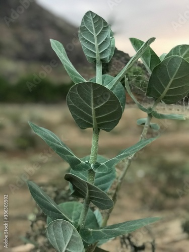 Shrub calotropis gigantea plant images and it hosts butterfly and many insect Wallpaper Mural