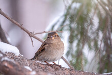 Sparrow Sits On A Branch Witho...