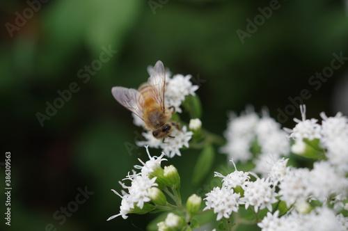 Obraz na plátně Honey bee worker collecting pollen