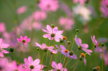 Cosmos Is A Genus, With The Sa...