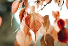 Bo Leaf Beautiful