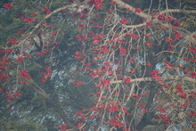 Erythrina Lysistemon Is A Species Of Deciduous Tree In The Pea Family, Fabaceae, That Is Native To South Africa. Common Names Include Common Coral Tree