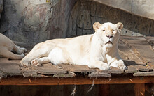 White Lion Resting On A Scaffold