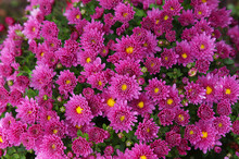 Late Autumn Purple Chrysanthem...
