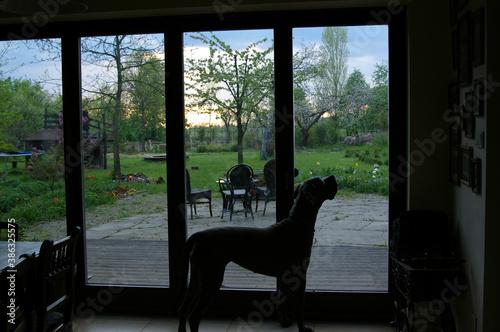 pies, taras, okno tarasowe, pies w domu, taras, zieleń, przyroda, zwierzęta, domowe zwierzęta, dom na wsi, dom z ogrodem,  - 386325575