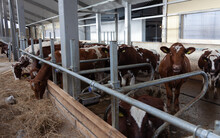 Inside The Barn. Many Cows With Yellow Tags In The Stall