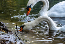 Beautiful Swans Looking For Fo...