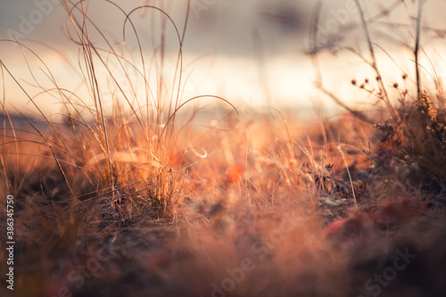 Fototapeta Dry autumn grasses in a forest at sunset. Macro image, shallow depth of field. Beautiful autumn nature background obraz