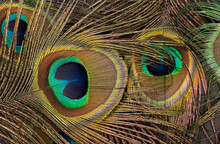 Close Up Of Brown Peacock Feat...