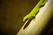 Madagascar Giant Day Gecko Lic...
