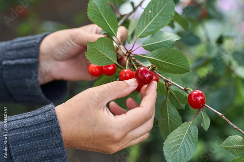 Canvastavla Female hand picking cherries from branch in garden