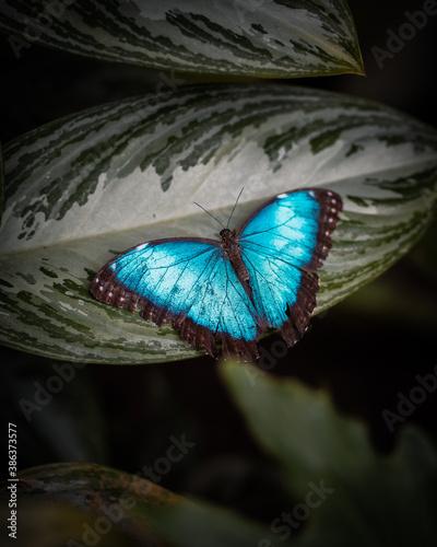 Fototapeta mariposa azul rey obraz