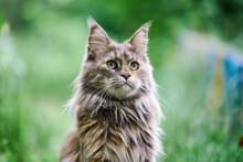 Maine Coon Cat Portrait In Gar...