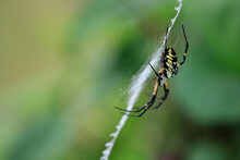 Golden Garden Weaver Spider (Argiope Aurantia) On Web