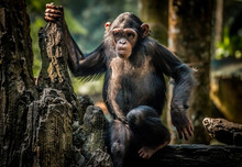 Portrait Of A Chimpanzee On A ...