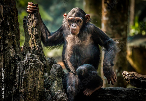 Tablou Canvas Portrait of a chimpanzee on a tree