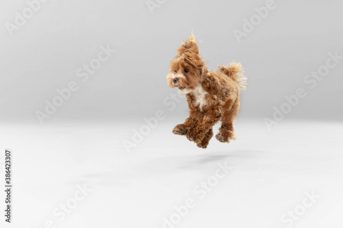 Obraz Jumping high. Maltipu little dog is posing. Cute playful braun doggy or pet playing on white studio background. Concept of motion, action, movement, pets love. Looks happy, delighted, funny. - fototapety do salonu