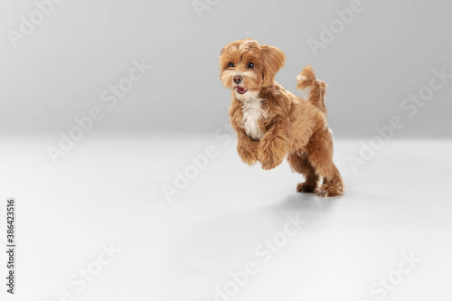 Obraz On the run. Maltipu little dog is posing. Cute playful braun doggy or pet playing on white studio background. Concept of motion, action, movement, pets love. Looks happy, delighted, funny. - fototapety do salonu