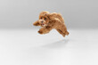 Happiness. Maltipu little dog is posing. Cute playful braun doggy or pet playing on white studio background. Concept of motion, action, movement, pets love. Looks happy, delighted, funny.