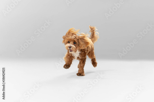 Obraz Happiness. Maltipu little dog is posing. Cute playful braun doggy or pet playing on white studio background. Concept of motion, action, movement, pets love. Looks happy, delighted, funny. - fototapety do salonu