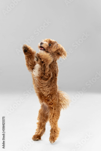 Obraz Flying, jumping. Maltipu little dog is posing. Cute playful braun doggy or pet playing on white studio background. Concept of motion, action, movement, pets love. Looks happy, delighted, funny. - fototapety do salonu