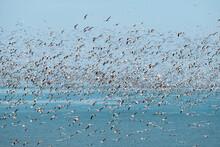Flock Of Flying Seagulls Over ...