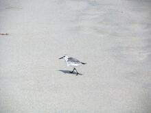 Single Bird Sanderling (Calidr...