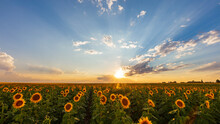 Sunflowers In A Field In Color...