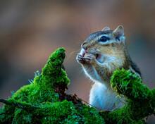 Closeup Of A Cute Chipmunk In ...