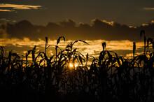 Corn Stocks In Morning Sun. Su...