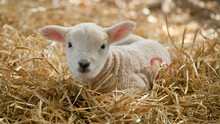 New Born Lleyn Cross Lamb At L...