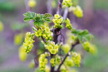 Currant Bush During Flowering,...