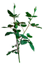 Rose Bush With Closed Bud Isolated