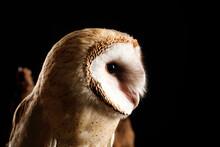 Beautiful Common Barn Owl On B...