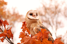 Beautiful Common Barn Owl On T...