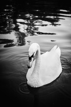 Close Up Portrait Of A Swan In The Lake. Mute Swan, Black And White Photo Of The Large White Bird. Bird Swim In The Water. Diffused Black Background.
