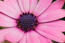 Close-up Of The Disk Florets With The Stigma And Stamens, Cypsela Of An Purple Flower Known As Daisybushes And African Daisy, Scientific Name Osteospermum