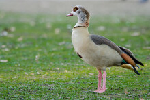 Egyptian Goose On The Grass