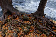 Roots Of Two Cedar Trees Roots Aroung Rocks By River Rapids In Fall