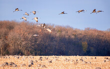 Sandhill Cranes Are Flying Ove...