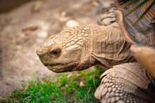 Close Up Turtles Walking On Gr...