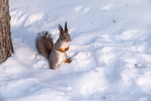 Squirrel Standing On Its Hind ...
